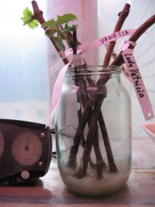 Выращивание саженцев винограда из черенков дома Блог Игоря Заики о виноградарстве и авторском виноделии