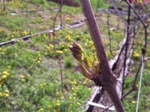 Защита виноградника от заморозков