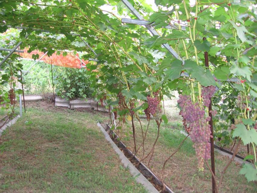 Конструкция для винограда своими руками фото 29