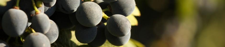 Горечь в вине, Блог Игоря Заики о виноградарстве и авторском виноделии 224
