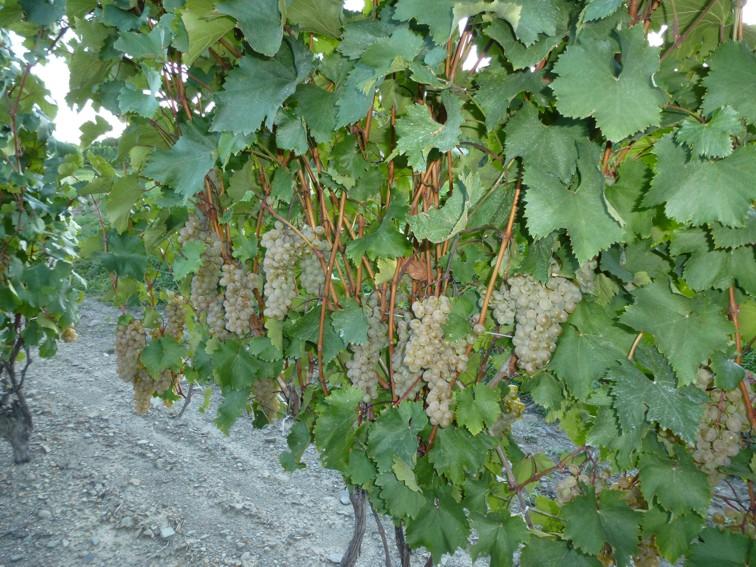 Dr.Frank's Vinifera Wine Сellars