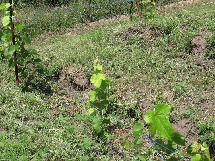 Виноград в коробах