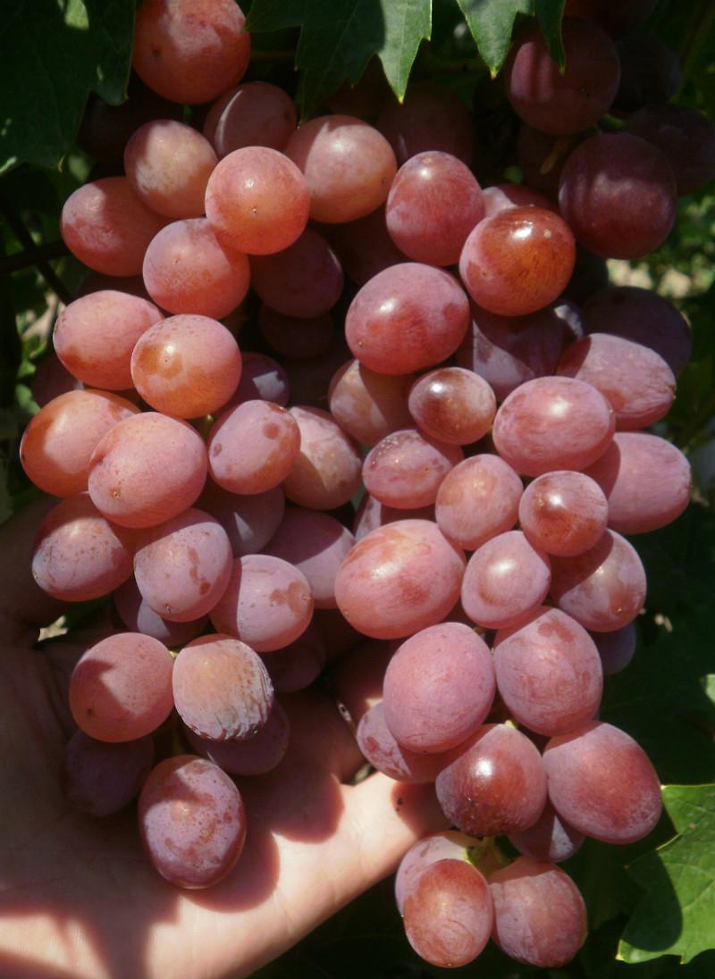 Виноград рошфор описание