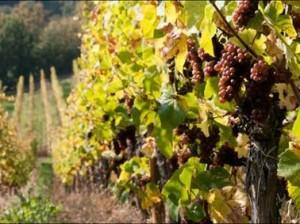 Виноградник в Германии