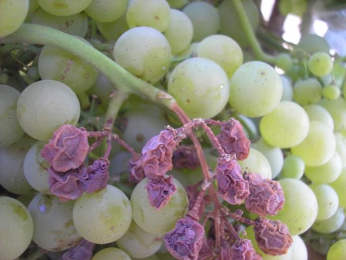 Милдью на грозди 1