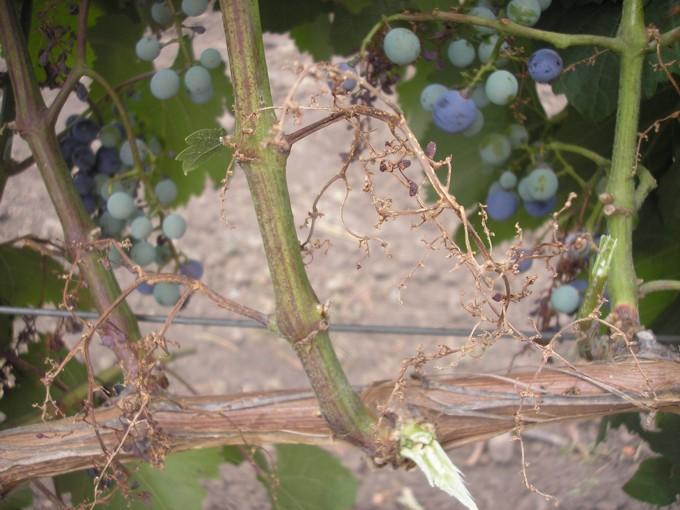 Милдью на грозди 2