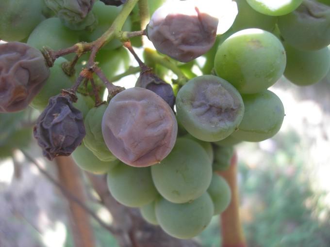 Милдью на ягодах 2
