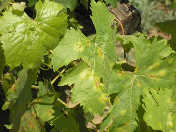Милдью на листьях 2