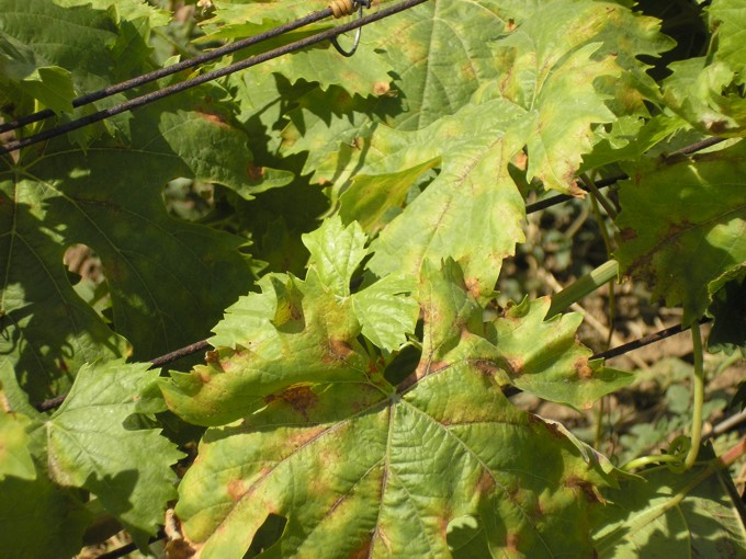 Милдью на старых листьях