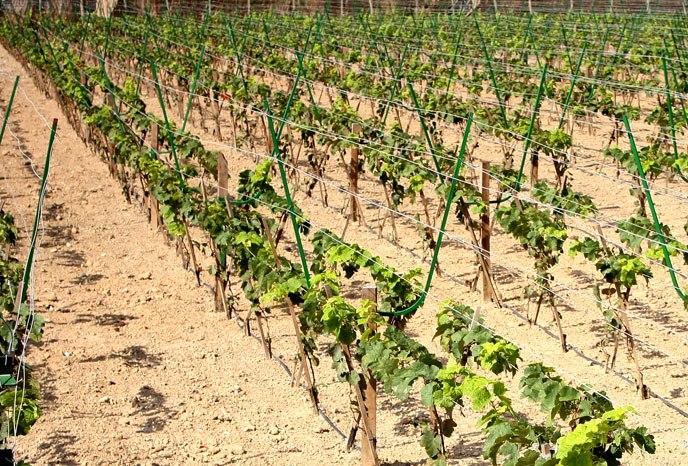 Виноградники Египта