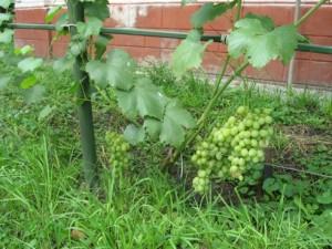 Первый виноград