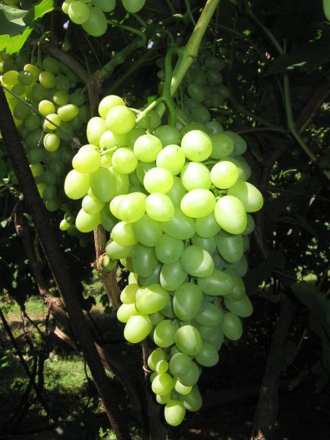 Аркадия гроздь