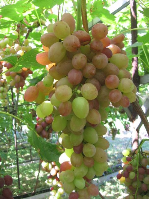 София виноград