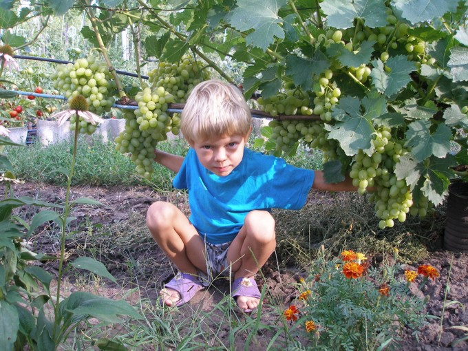 Ярик и виноград Аркадия