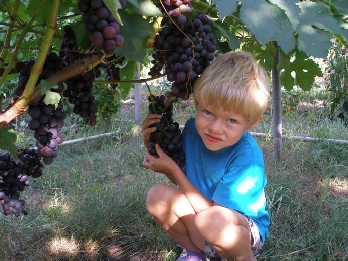 Ярик и виноград Восторг чёрный