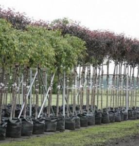 саженцы садовых деревьев