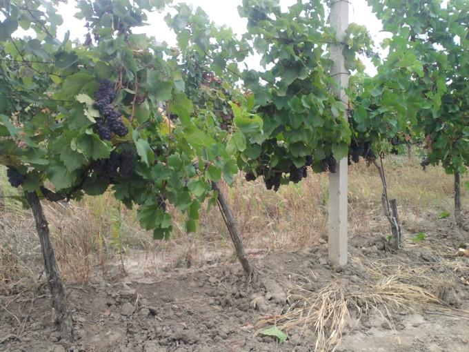 Пино гри виноград