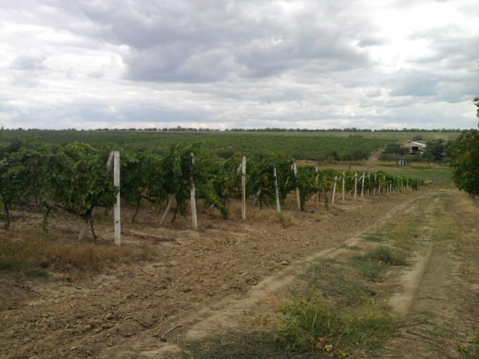 Виноградник Придунайское