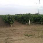Виноградник Пиридунайский