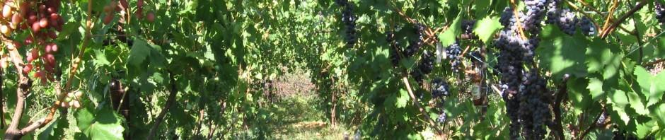 Органический виноградник