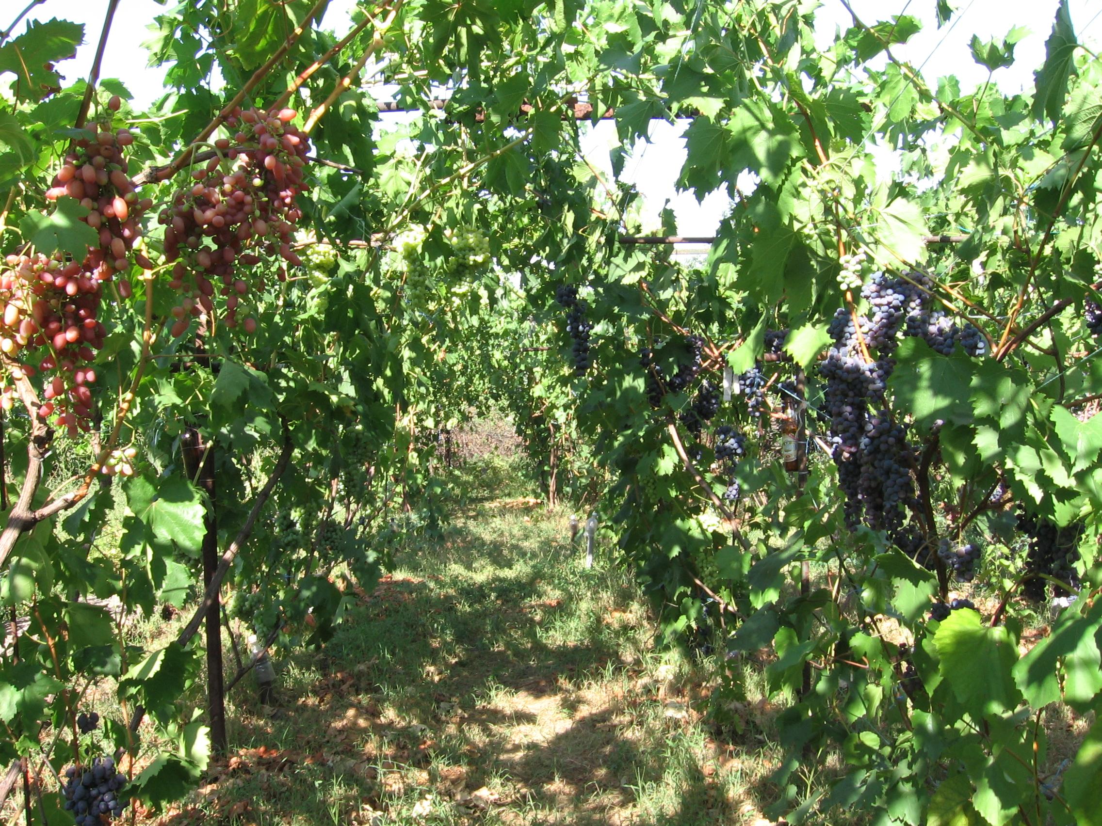 Природное земледелие винограда – это методы будущего