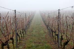 туман над виноградником