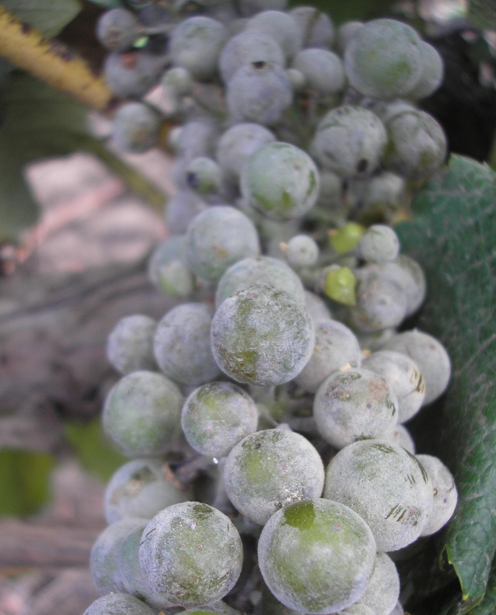 На ягодах винограда темные пятна - 40