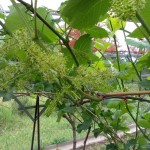 виноград цветёт