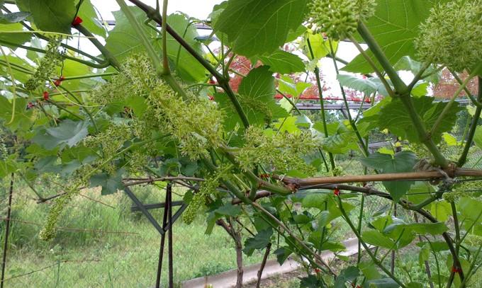 Виноград зацвёл
