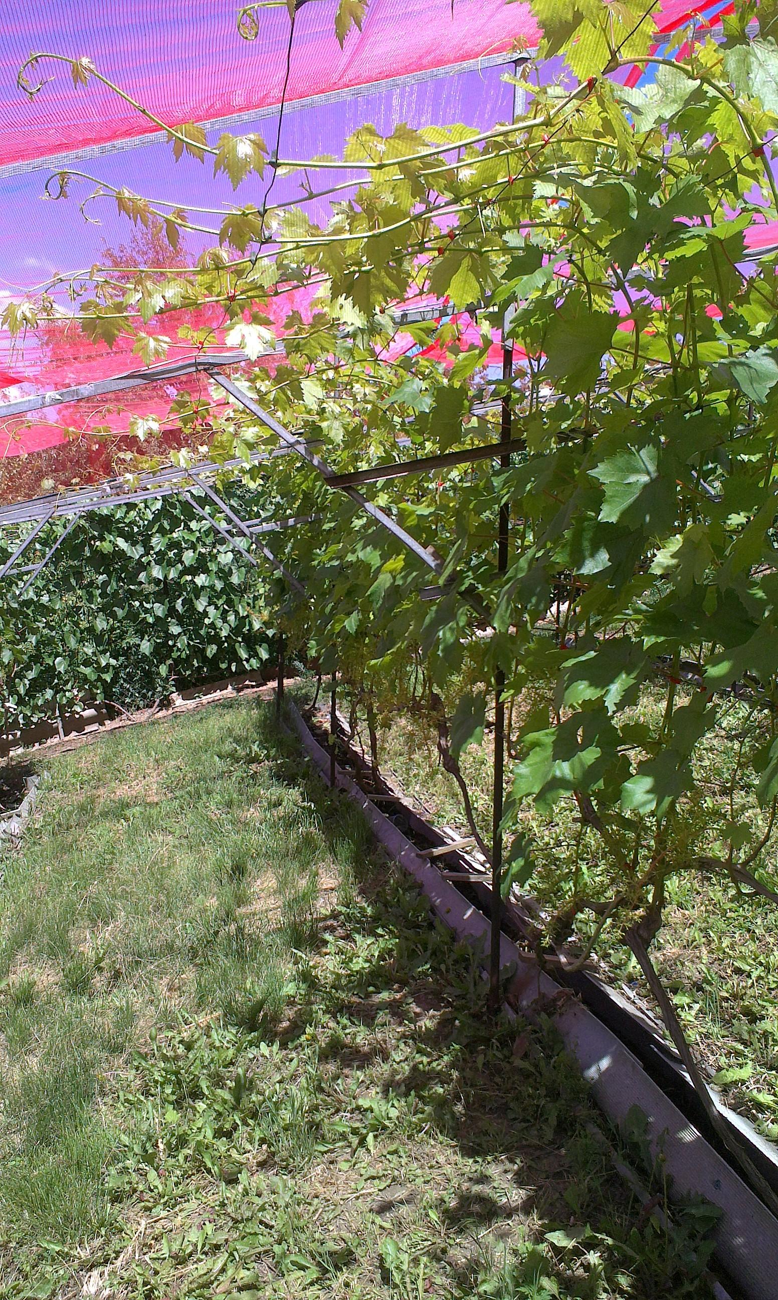 Идеи для винограда фото