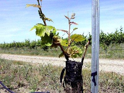 Как улучшить сорт винограда с помощью прививки