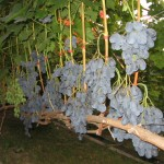 Виноград Руслан