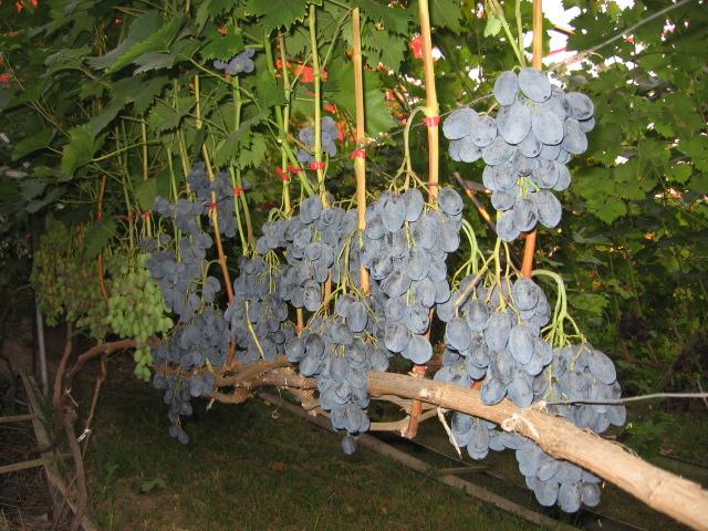 Прогулка с фотоаппаратом по винограднику — 3 августа