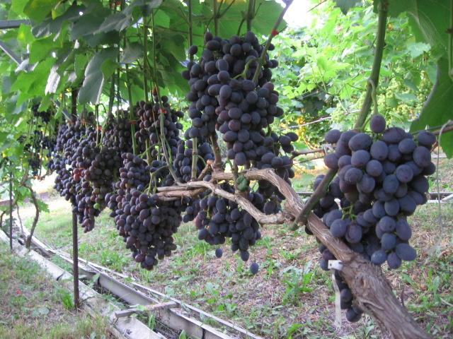 гала виноград
