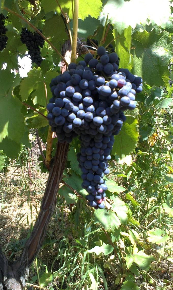 Виноград технических сортов — продажа